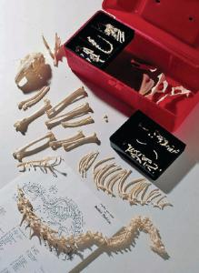 Ward's® Disarticulated Rabbit Skeleton
