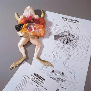 Ward's®  Frog Models