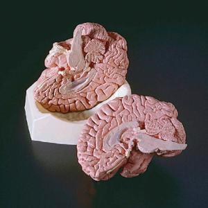 Ward's® Brain Model