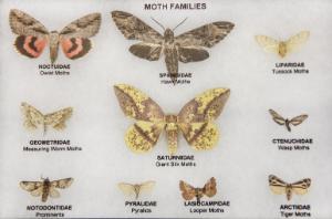 Moth Families