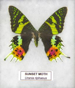 Sunset Moth
