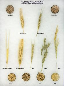 Commercial Grains