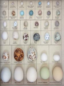 Eggs Of Na Birds