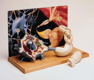 Denoyer-Geppert® Motor Neuron Diorama Model