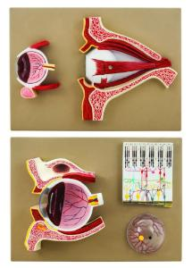 Human eye demonstration