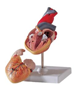 3B Scientific® Classic Heart Model