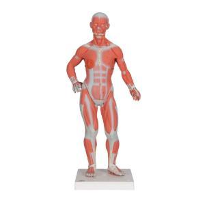 Human Anatomy Figure