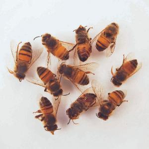Honeybee Worker