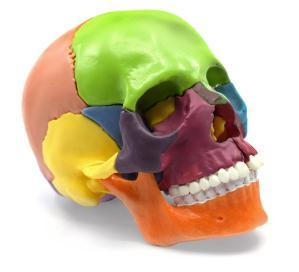 Model mini skull, painted