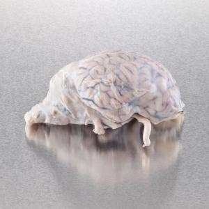Ward's Pure Preserved™ Fully Extracted Sheep Brains (Dura Mater Removed)