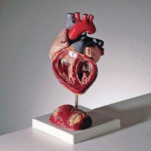 3B Scientific® Giant Heart