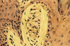 Meissner's Corpuscle, (Primate)