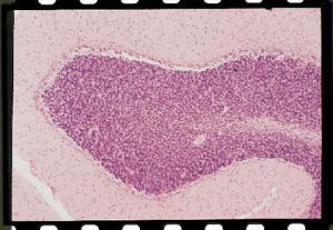Cerebellum, Primate Slide