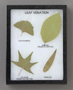 Comparison of Leaf Venation Riker Mount