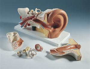 3B Scientific® Ear Model