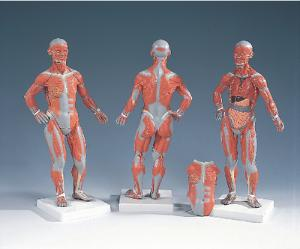 3B Scientific® 1/3 Size  Muscular Figure Model