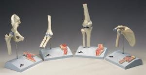 3B Scientific® Mini Joint with Cross-Section Model Set