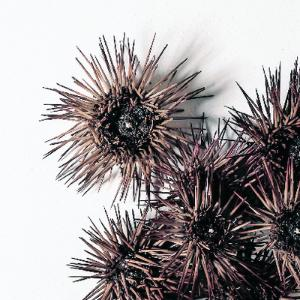 Preserved Purple Sea Urchin