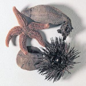Ward's® Echinoderm Collection