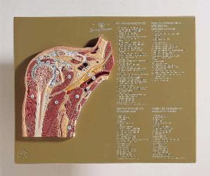 Somso® Shoulder Joint Cross Section Model