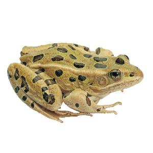 Ward's® Live Grassfrogs (<i>Rana pipiens</i>)