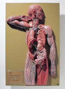 Somso® Lymphatic System Model