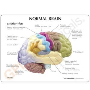 GPI Anatomicals® Basic Half Brain Model