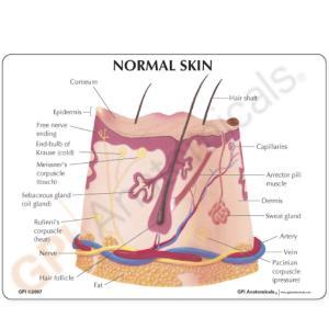 GPI Anatomicals® Skin Health Models