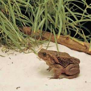 Ward's® Giant Toad (<i>Bufo marinus</i>)