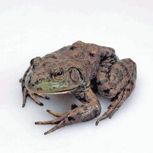 Ward's® Live Bullfrogs (<i><B>Rana catesbeiana</B></i>)