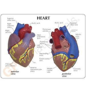GPI Anatomicals® Basic Heart Model