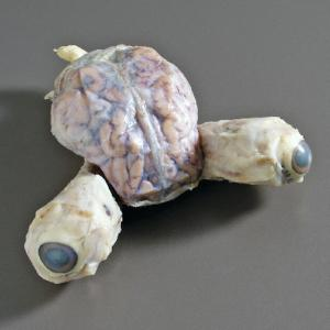 Pig Brain with Eyes