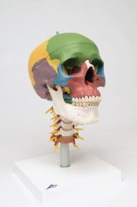 3B Scientific® Didactic Skull And Cervical Spine