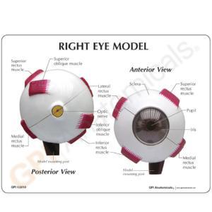GPI Anatomicals® Full Eye