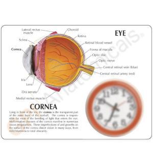 GPI Anatomicals® Cornea Eye
