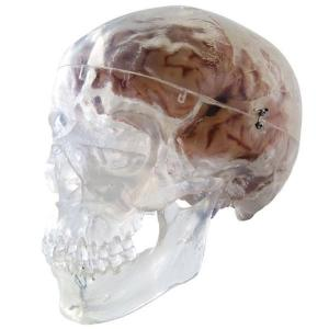 3B Scientific® Transparent Skull