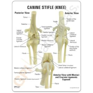 GPI Anatomicals® Canine Joints