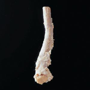 Bovine Spinal Cord