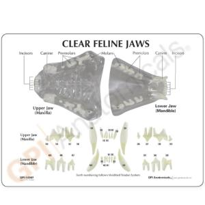 GPI Anatomicals® Clear Feline Jaw