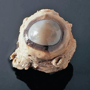 Preserved Cow Eyes