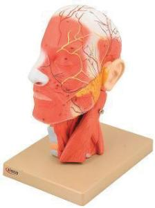 Eisco® Human Head And Neck Model