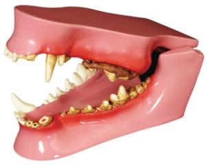 GPI Anatomicals® Canine Jaw Model