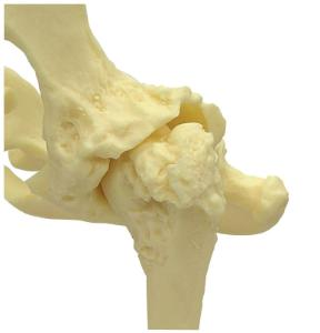 GPI Anatomicals® Canine Pelvis Model