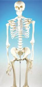 Eisco® Articulated Skeleton Model