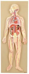 Eisco® Human Circulatory System